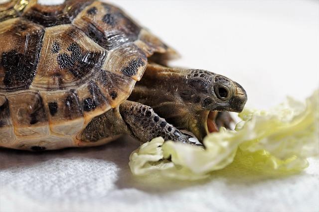 krmení želvy