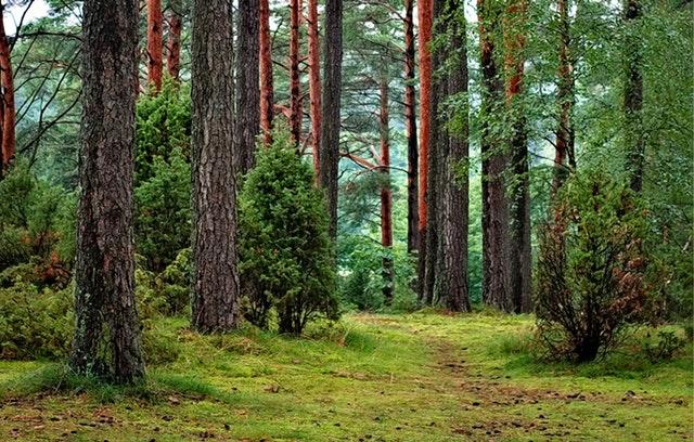 kmeny borovic v lese
