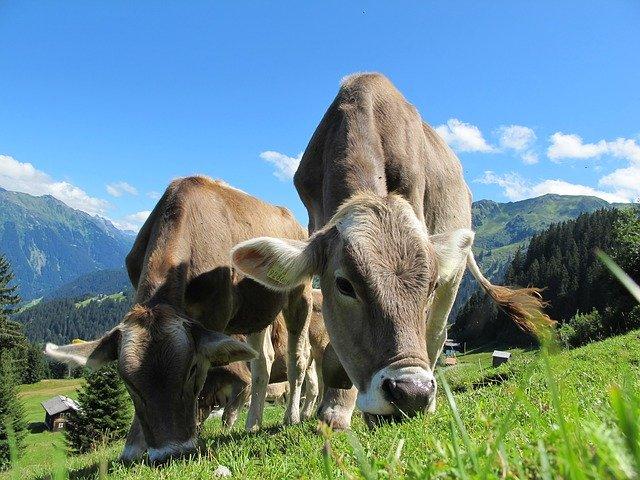 kráva – rovněž dříve používaná k tahu